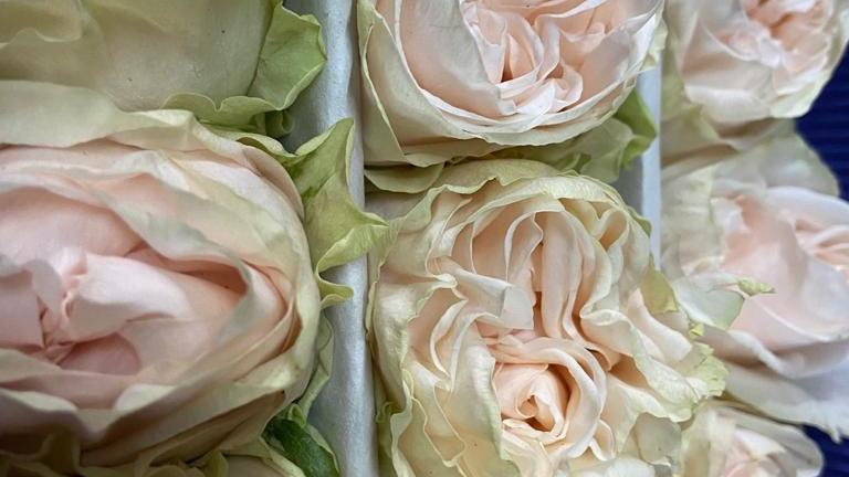 Roses Garden Roses 100 stems x Box