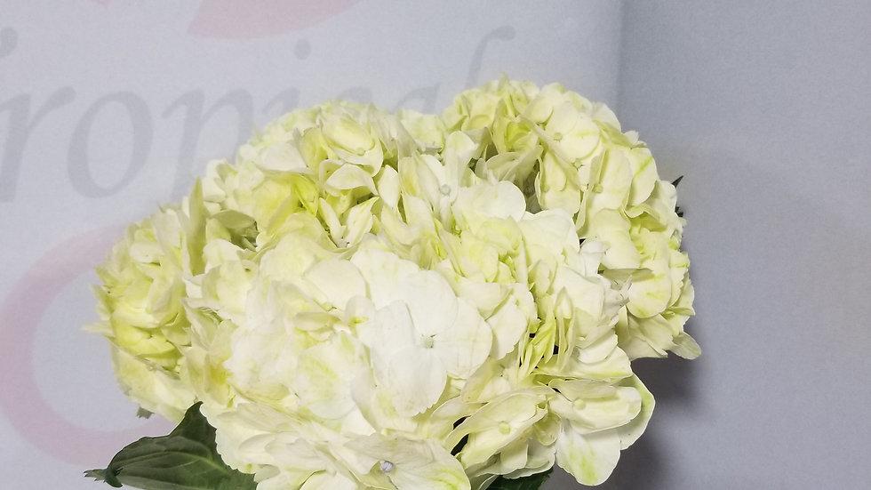 Hydrangea Green Lemon 20 stems x Box