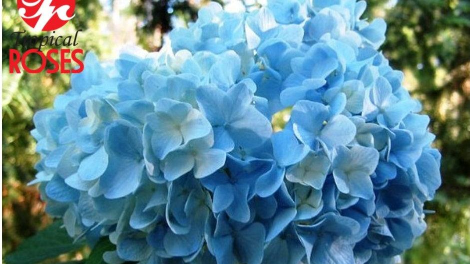 Hydrangea Blue Premiun Designer 30 stems x Box