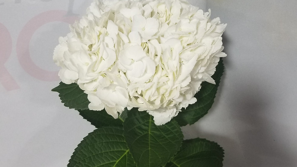 Hydrangea White Premium 30 stems x Box