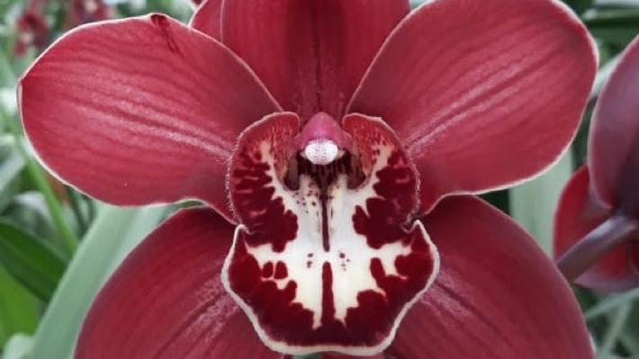 Orchids Cymbidium 13-18 Blooms