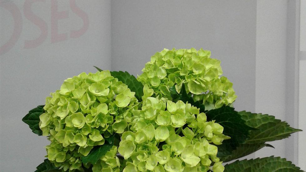 Hydrangea Mini Green 60 stems x Box