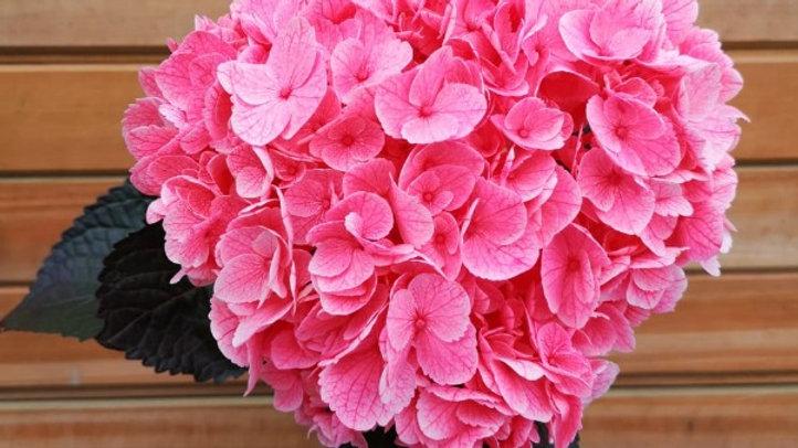 Hydrangea Flamingo 20 stems x Box