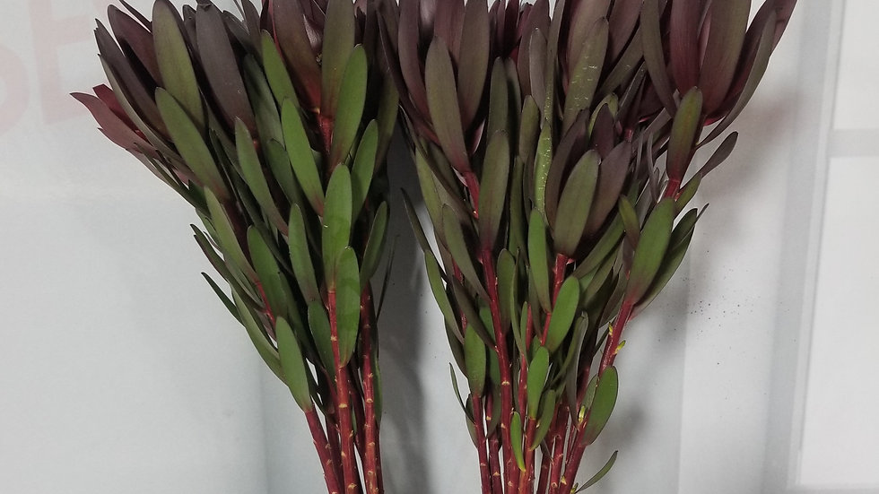 Leucadendron Safari Sunset 10 stems per bunch