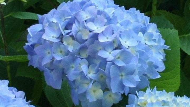 Hydrangea Blue Premium Designer 5 stems x Bunch