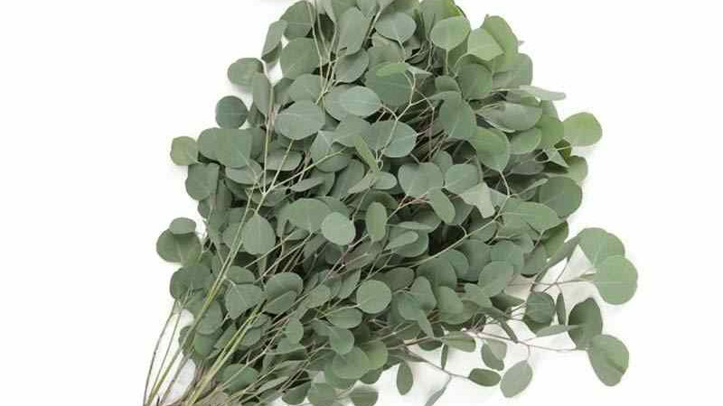 Eucalyptus Silver Dollar 10 stem per Bunch