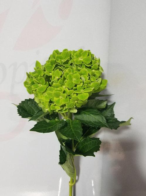 Green Clover Hydrangea