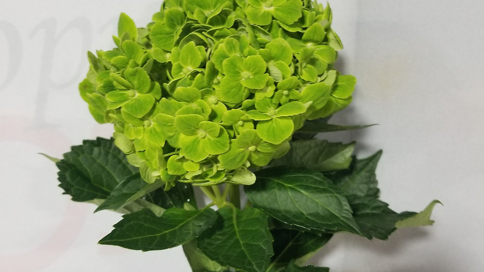 Hydrangea Green Clover 20 Stems x Box