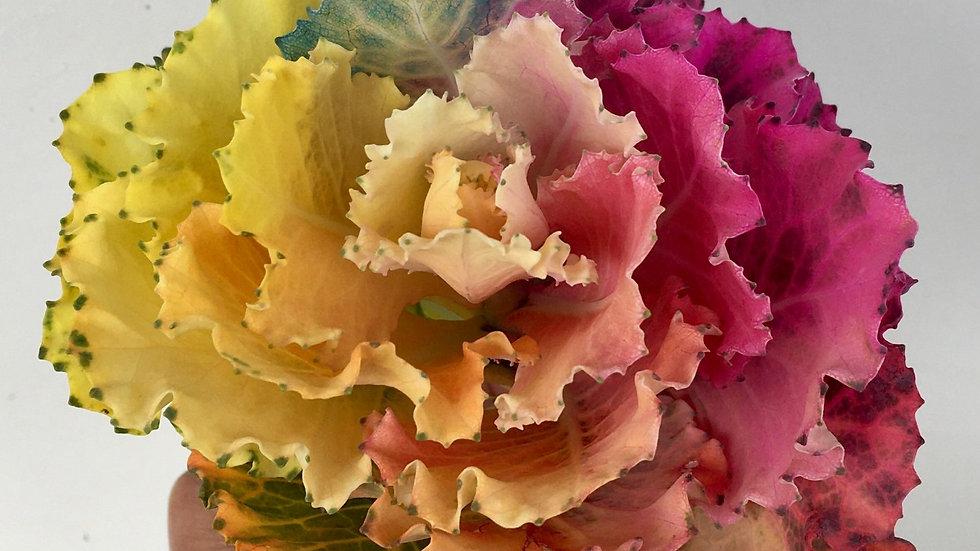 Dyed Kale