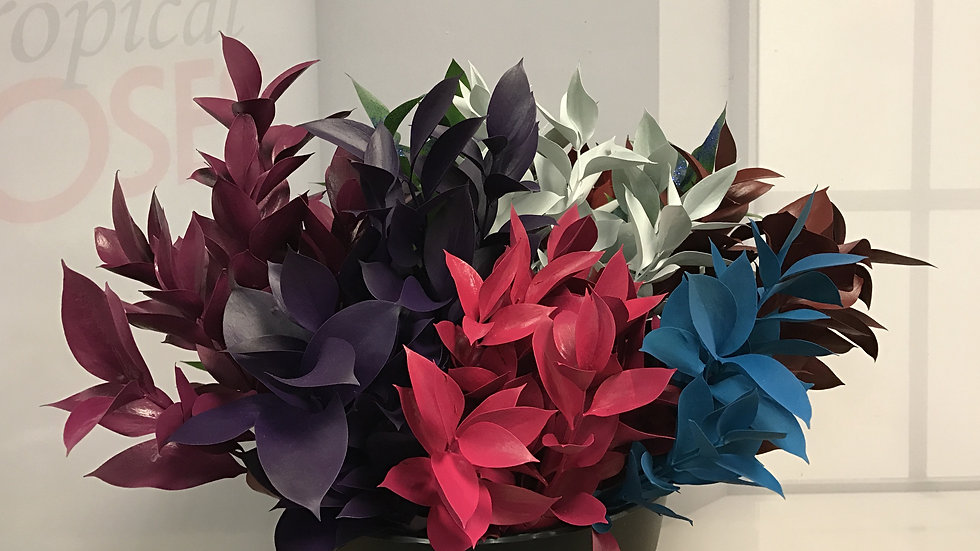 Dyed Ruscus 200 stems x Box