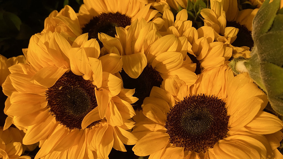 Sunflower 50 stems x Box