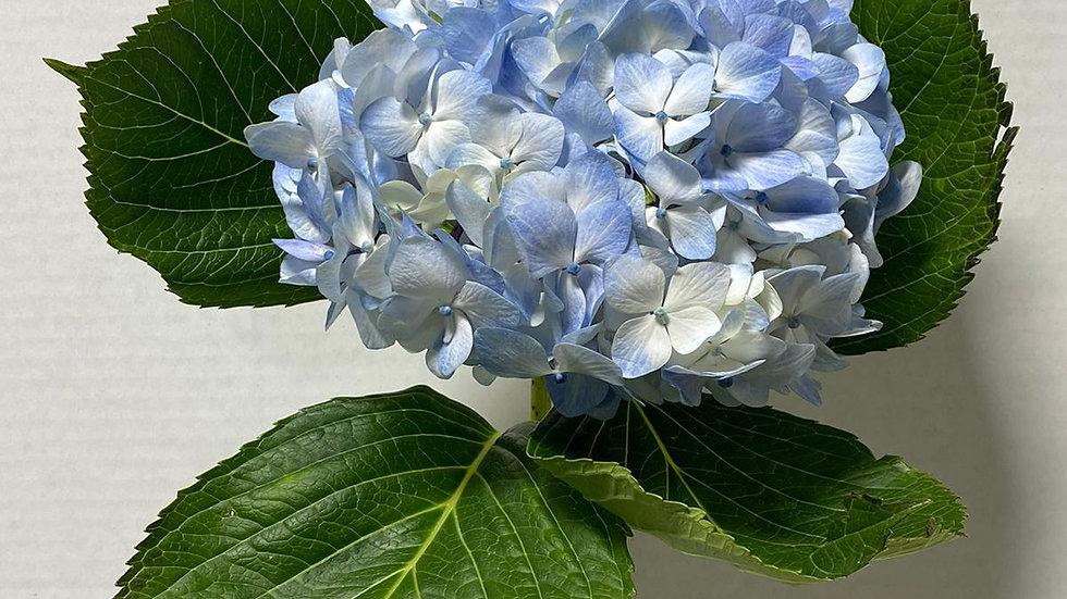 Hydrangea Blue Select 5 Stems x Bunch