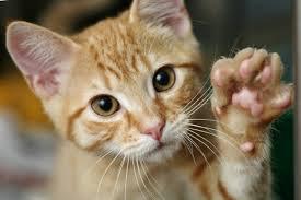 Filaria gatto (FHW) ricerca anticorpi