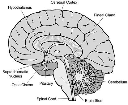 Brain (flat) G.tif