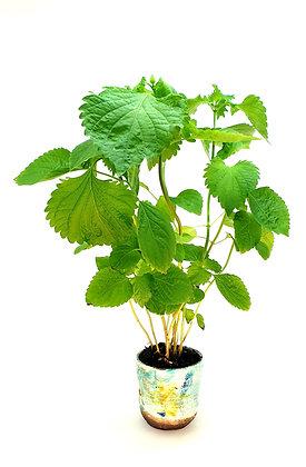 1 Shiso Plant