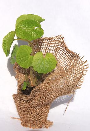 1 Wasabi Plant