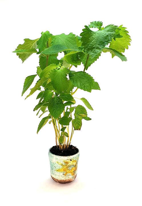 3 Shiso Plants