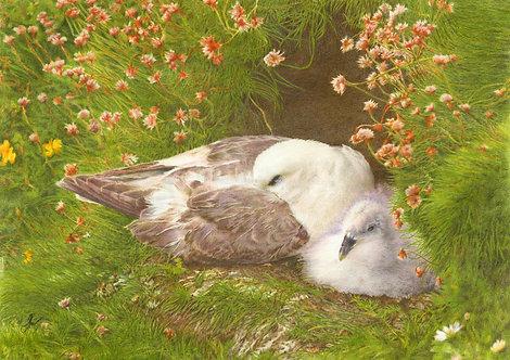 Northern Fulmar  (Mallie):