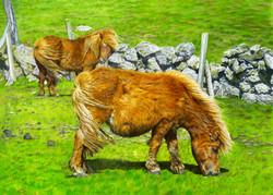 Shetland Ponies Grazing