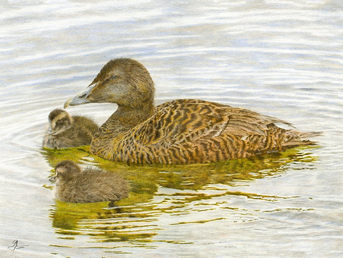 Eider Duck & Ducklings: Print In Mount: