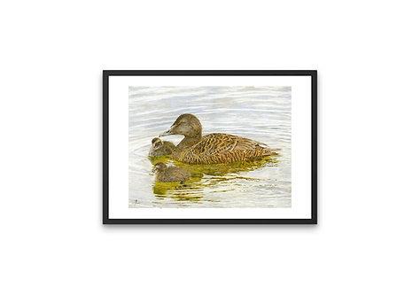 """Eider Duck & Ducklings: Frame 11x14"""" Print A4"""