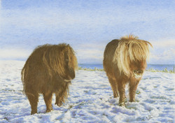 Shetland Ponies In The Snow