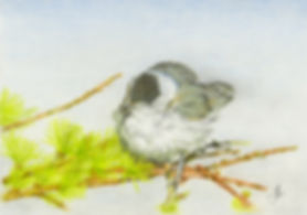 Blackcap northern nightingale prints