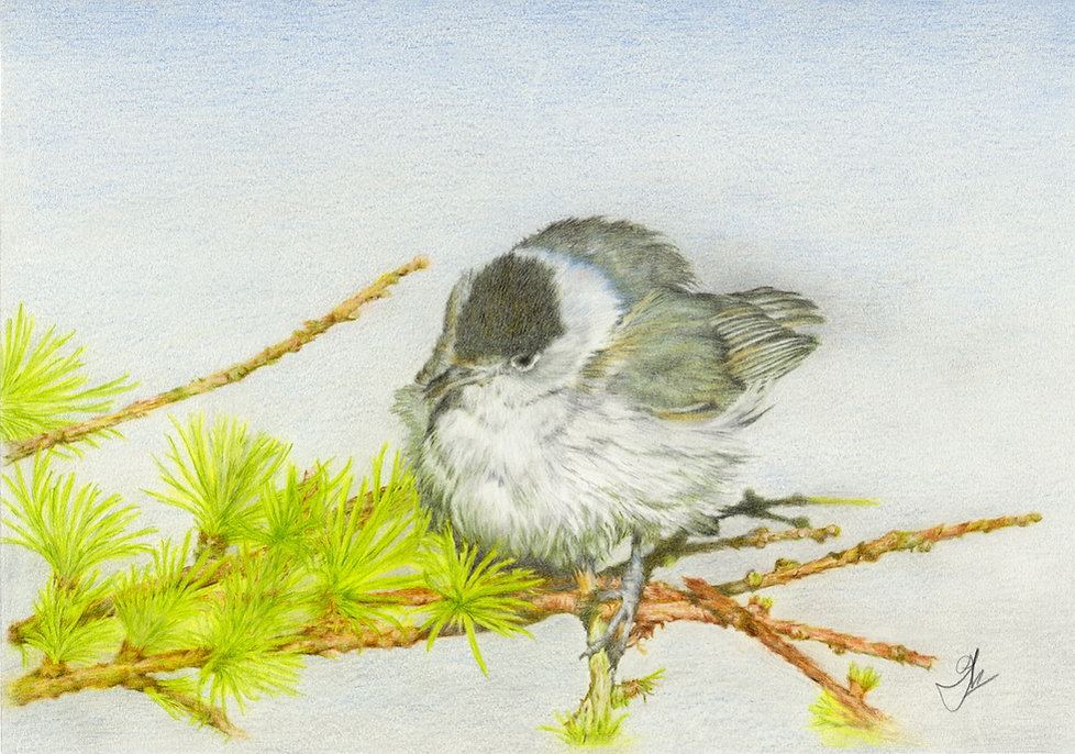 Blackcap Original Scan.jpg