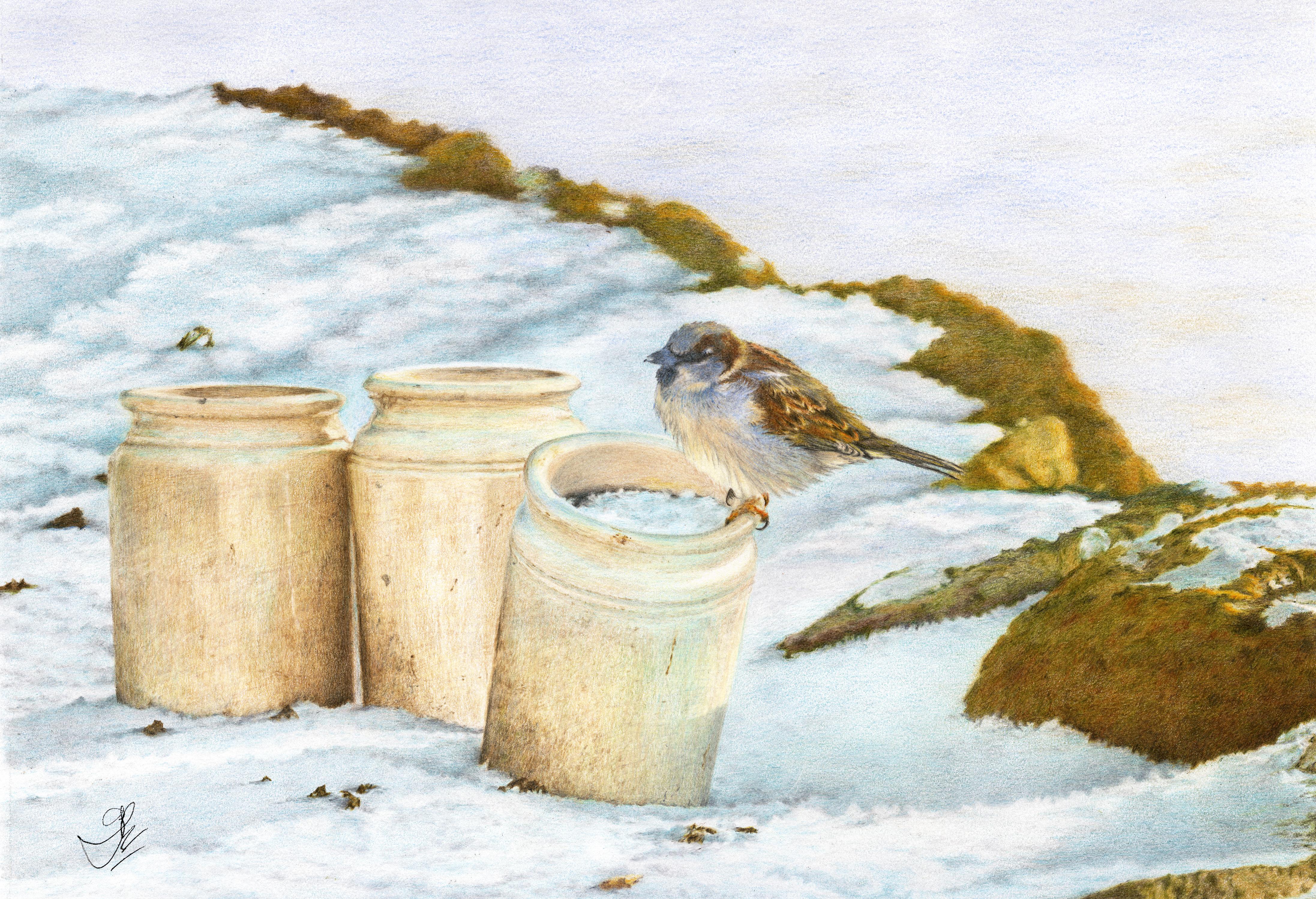 House Sparrow: