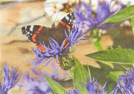 Red Admiral Butterfly: Print Only