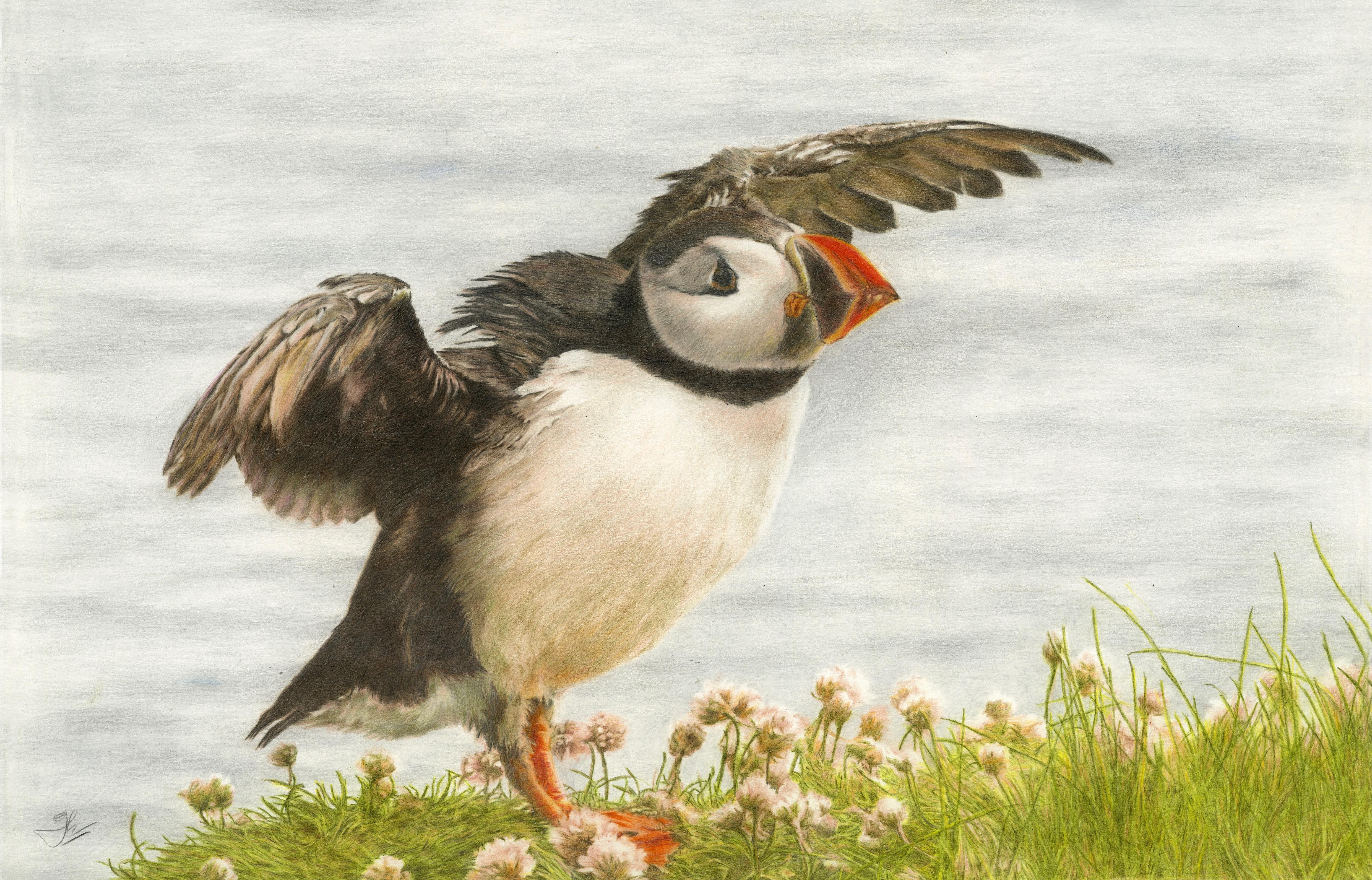 Puffin Taking Flight: