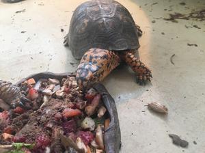Linus the Eastern Box Turtle