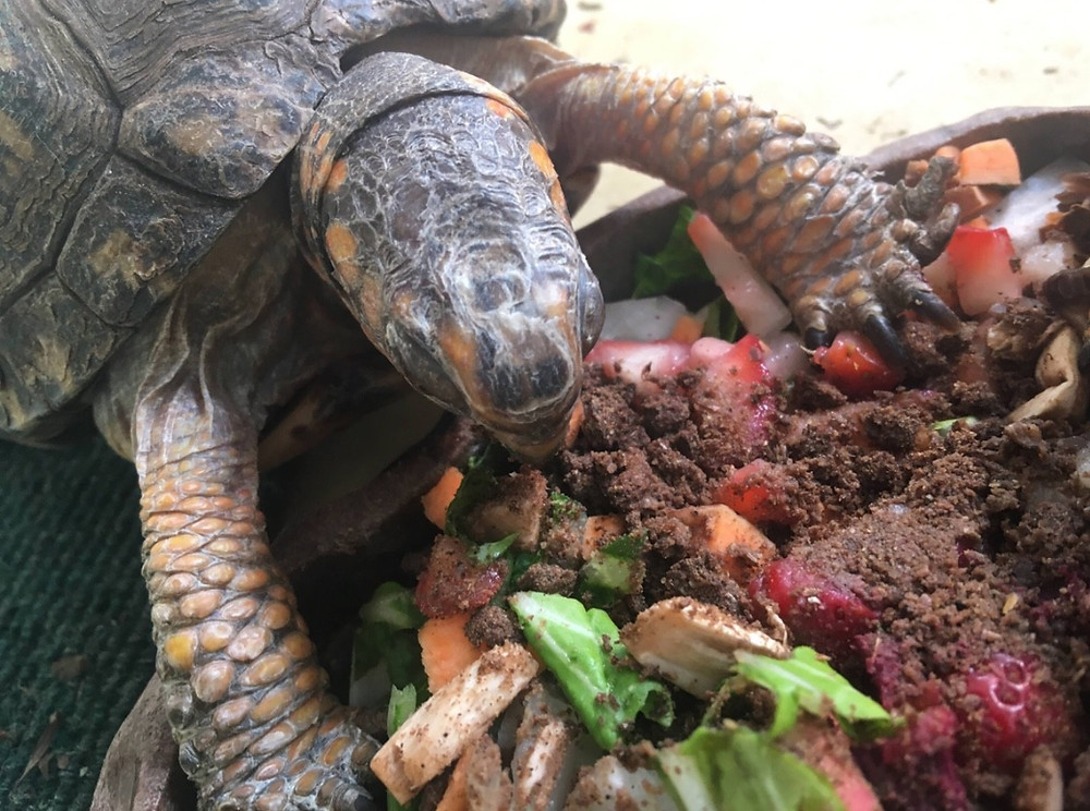 Carolina the Eastern Box Turtle