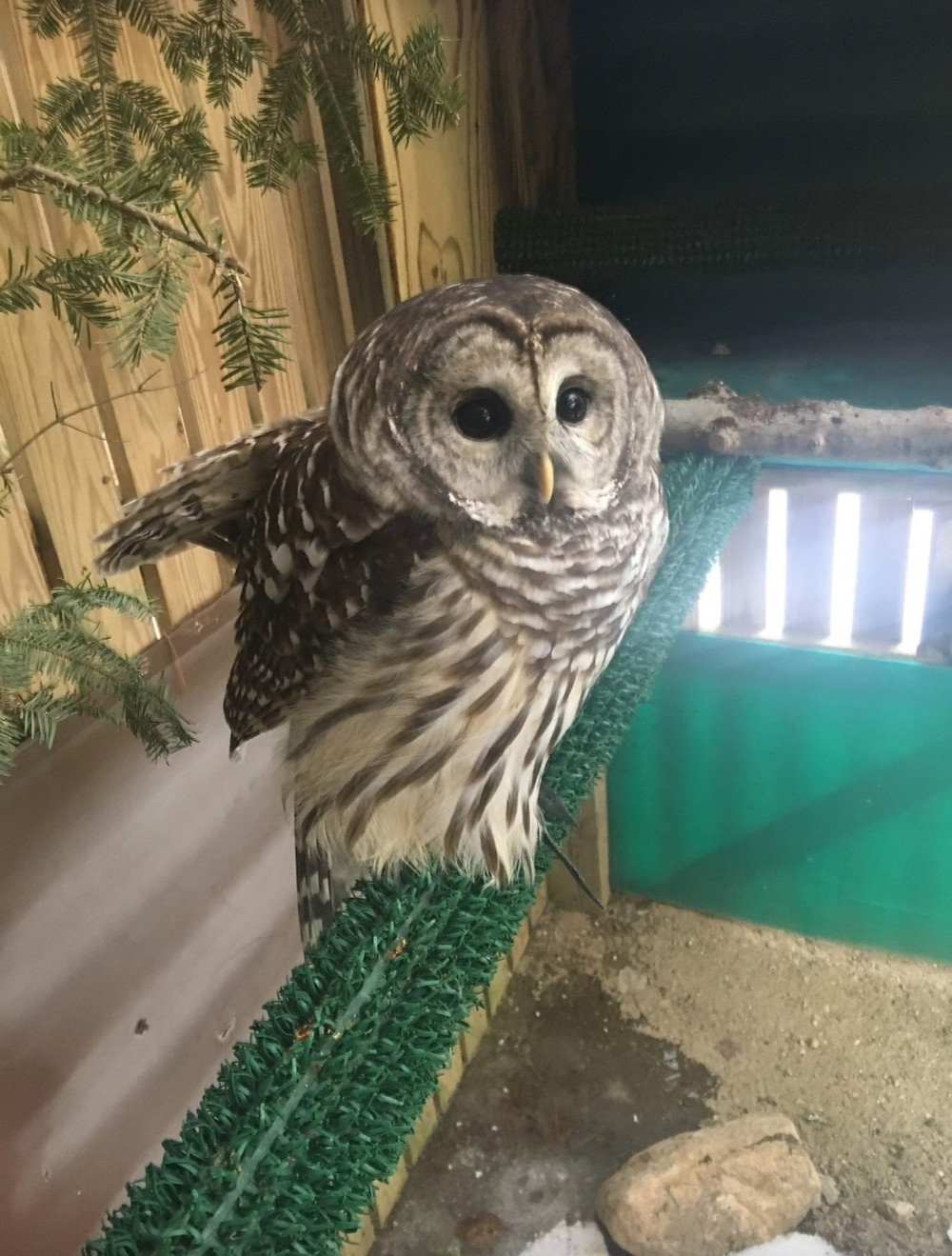 Varia the Barred Owl