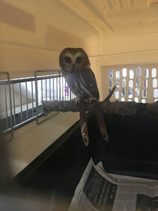 Saw-Whet owl (we think), (don't remember its name).