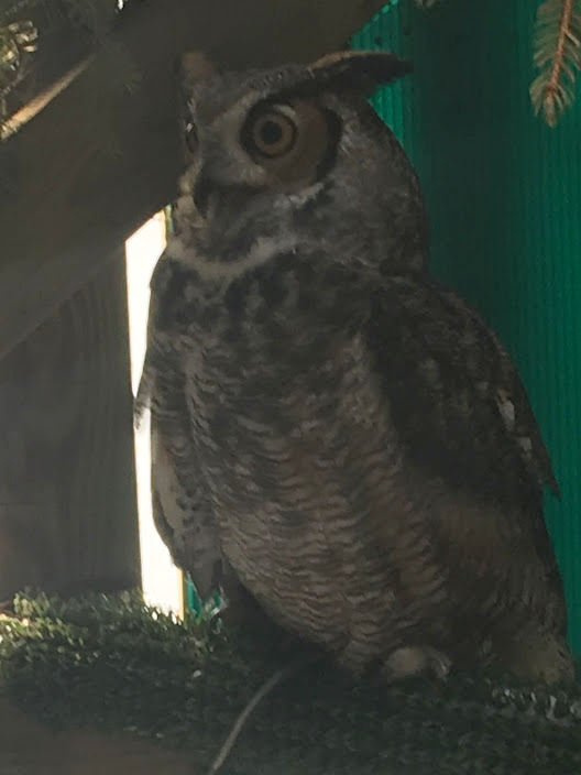 Sparky the Great-Horned owl