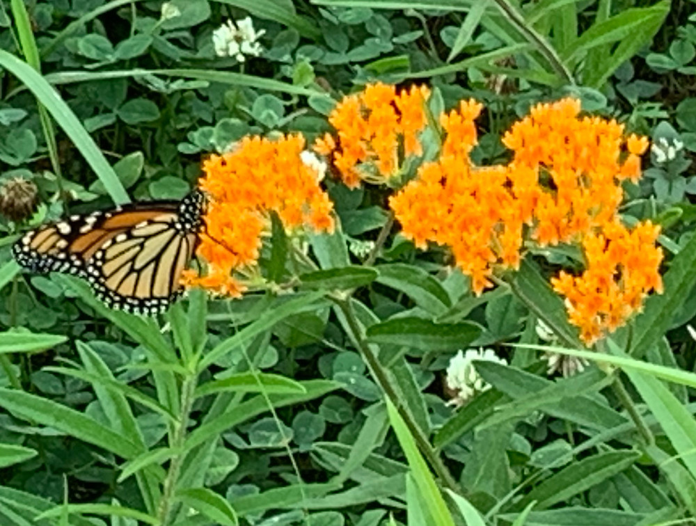 Monarch butterfly (Danaus plexippus) on Milkweed (genus Asclepias), with White Clover (Trifolium repens) in the background.
