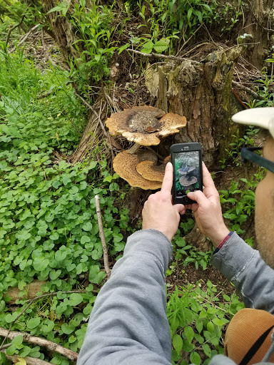 Most likely this is a Polyporus, and most likely it's a Dryad's Saddle!