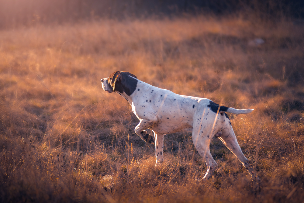 pointer in ferma tramonto