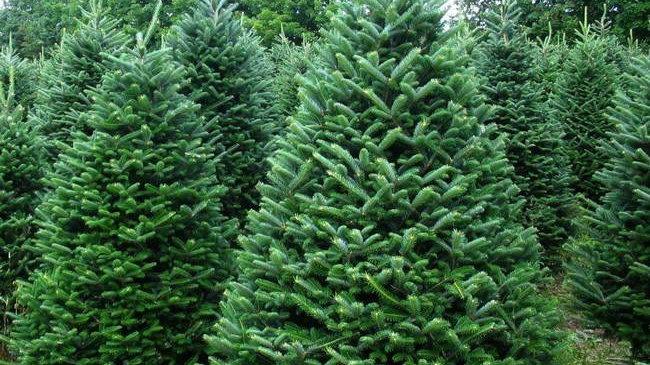 8-9ft Christmas tree