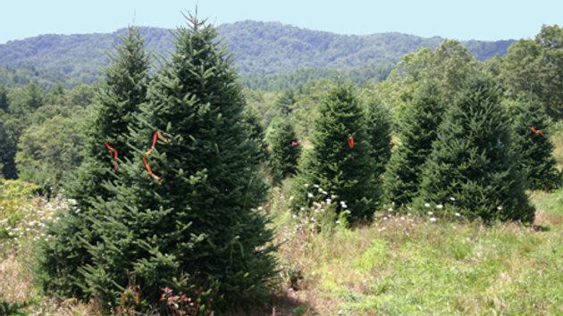 9-10ft Christmas tree