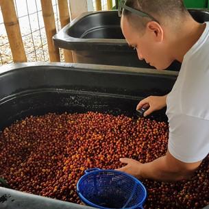 Seleccionando los mejores frutos para Cafe de Altura mallorca
