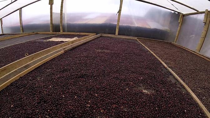 Camas secadero de café de la variedad Bourbon Rojo