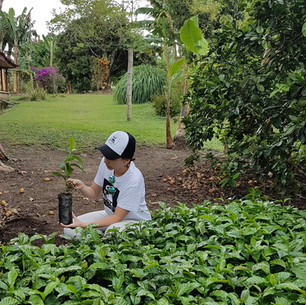 Seleccionado las mejores plantas de café para café de altura mallorca