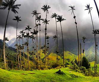 Quindio_Colombia_Palm_tree_ritual.jpg