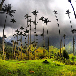 Wax Palms, Valle de Cocora