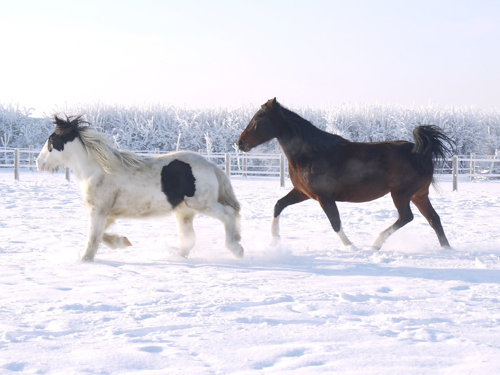 Young horses enjoying turnout time in the snow!