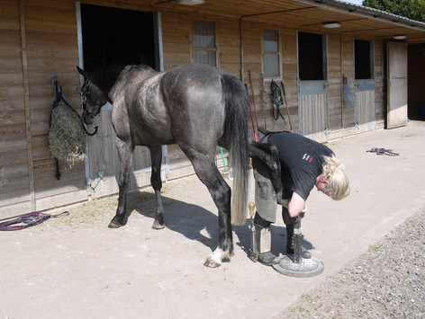 Beccy trimming a hind hoof in a barefoot racehorse