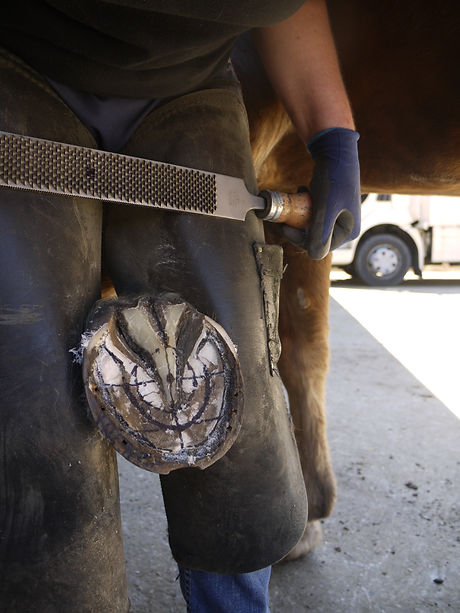 Trimming a transitioning barefoot horses