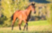Horse walking in field.jpg